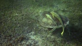El nadar con la tortuga almacen de metraje de vídeo