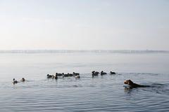 El nadar con los patos fotos de archivo libres de regalías