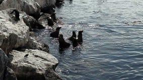 El nadar de los leones marinos del rompeolas Monterey California almacen de video
