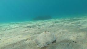 El nadar después de una platija del pavo real en el mar del Caribe tropical almacen de video