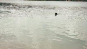 El nadar en el perro del rottweiler del negro del leke en cuello almacen de video