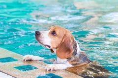 El nadar que espera del perro del beagle para en la piscina Imágenes de archivo libres de regalías