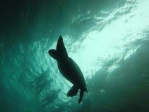 El nadar sobre una tortuga Fotografía de archivo libre de regalías