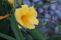 El narciso de la primavera imagenes de archivo