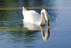 El narciso del cisne Fotografía de archivo libre de regalías