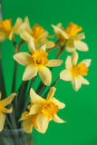 El narciso o el narciso amarillo florece en fondo verde Foco selectivo Lugar para el texto Foto de archivo