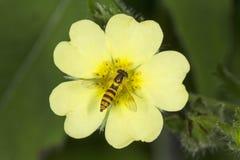El nectaring mimético de la abeja de la mosca de la libración en la flor del cinquefoil, Vernon, conec Imagen de archivo