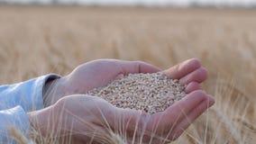 El negocio agrícola, manos del granjero se sostiene y mostrar el grano madurado del trigo del oro en la cámara en el campo del pa almacen de video
