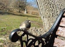 El negro de Oregon observó percas del pájaro del junco en el brazo de un banco de parque foto de archivo libre de regalías