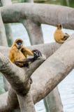 El negro dio el mono de araña Imagen de archivo libre de regalías
