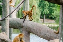 El negro dio el mono de araña Foto de archivo