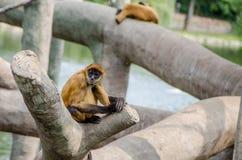 El negro dio el mono de araña Fotos de archivo libres de regalías