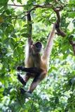 El negro dio el mono de araña - geoffroyi del Ateles Fotos de archivo