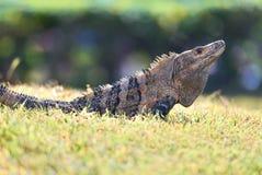El negro Espinoso-ató la iguana foto de archivo