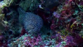 El negro grande manchó la anguila de moray que se sentaba en el filón almacen de metraje de vídeo