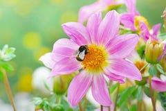 El negro grande manosea la abeja recoge el néctar en una dalia Fotografía de archivo