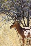 El negro hizo frente al impala - visión lateral Foto de archivo libre de regalías