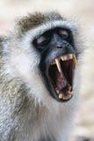 El negro hizo frente al mono de vervet que descubría sus dientes Imagenes de archivo