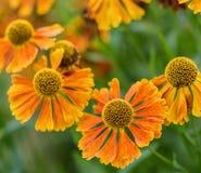 El negro macro de la imagen observó el Rudbeckia Hirta de la flor de Susan Summer imagenes de archivo