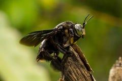 El negro manosea la abeja que se basa sobre rama de árbol Imagen de archivo