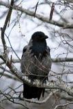 El negro observó el corone gris del Corvus del cuervo, krahe se sienta en una rama del abedul fotos de archivo libres de regalías