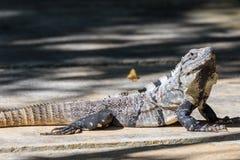 El negro salvaje espinoso-ató la iguana, la iguana negra, o el ctenosaur negro Maya de Riviera, Cancun, México fotos de archivo
