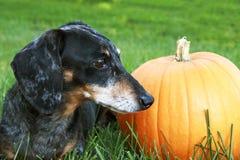 El negro y la plata Dapple el perro basset que pone en la hierba al lado de Foto de archivo libre de regalías