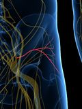 El nervio glúteo inferior ilustración del vector