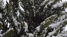 El nevar en las hojas del pino almacen de metraje de vídeo