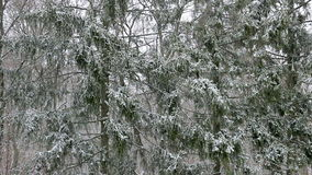 El nevar en un bosque del abeto almacen de video