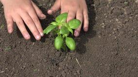 El niño da el establecimiento de las semillas en tierra, verduras del almácigo, campo 4K de la agricultura metrajes