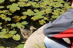 El niño da la alimentación de un pato Fotos de archivo libres de regalías
