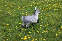 El niño de la cabra salta en un prado fotos de archivo libres de regalías