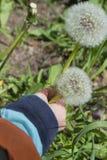 El niño escoge el diente de león mullido blanco de las flores Imagen de archivo