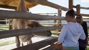 El niño está alimentando el camello en el parque zoológico almacen de video