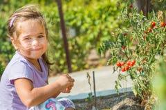 El niño está cogiendo los tomates de cereza del jardín hecho en casa ecológico bulgaria Fotografía de archivo libre de regalías