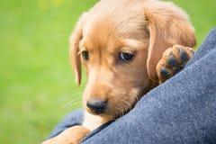 El niño lleva a cabo en sus manos una pequeña raza del perro del spaniel_ del cocker foto de archivo