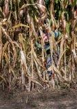 El niño pequeño disimulado oculta en tallos detrás altos del maíz en un campo fotografía de archivo