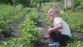 El niño recoge la baya roja madura roja Rompe suavemente la baya y la pone en un cubo del ` s del niño Cosecha en metrajes