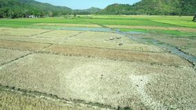 El Nido,菲律宾- 2019年2月6日:菲律宾农夫步行空中射击通过一块稻田用水 股票视频
