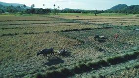 EL Nido, Φιλιππίνες - 6 Φεβρουαρίου 2019: Εναέριος πυροβολισμός του περιπάτου αγροτών των Φιλιππινών μέσω ενός τομέα ορυζώνα ρυζι απόθεμα βίντεο