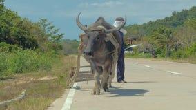 El Nido, Филиппины - 7-ое февраля 2019: Азиатский буйвол индийского буйвола идет на дорогу и вытягивает скелетон в сельском  акции видеоматериалы