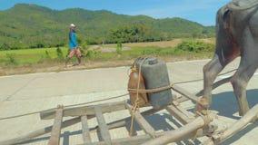 El Nido, Филиппины - 7-ое февраля 2019: Азиатский буйвол индийского буйвола идет на дорогу и вытягивает скелетон в сельском  сток-видео