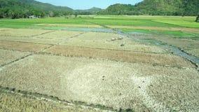 EL Nido, Filippine - 6 febbraio 2019: Colpo aereo della passeggiata dell'agricoltore di Filippine attraverso un campo di risaia c archivi video