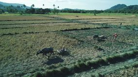 El Nido ,Philippines - February 6, 2019: Aerial shot of philippines farmer walk through a rice paddy field with Water stock video
