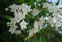 El nightshade blanco florece el laxum falso de la solanácea del jazmín, jasminoides de la solanácea imagenes de archivo