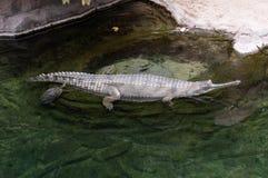 El niloticus del Crocodylus del cocodrilo del Nilo es un cocodrilo africano, situado en el San Diego Zoo en California imagen de archivo libre de regalías