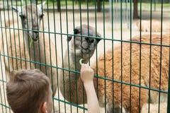 El niño alimenta dos llamas en el parque zoológico del animal doméstico Fotos de archivo