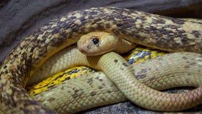El nivea del Naja de la cobra del cabo observa los alrededores almacen de video