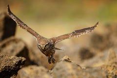 El noctua del Athene del pequeño búho está volando con la presa imagen de archivo libre de regalías